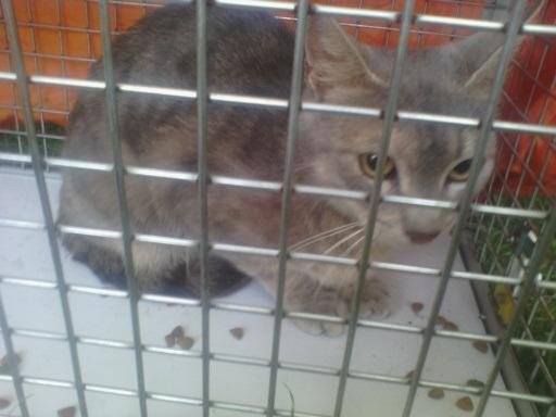 (adoptée)URGENT Crête, chatte d'environ 2 ans (13) FA ou ADOPTANTS  Chatte10