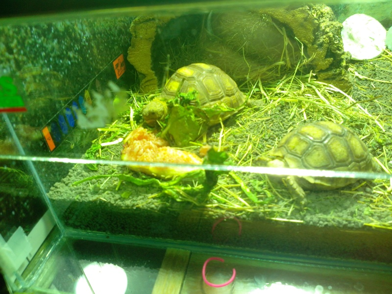 tortues sulcata Img_2011