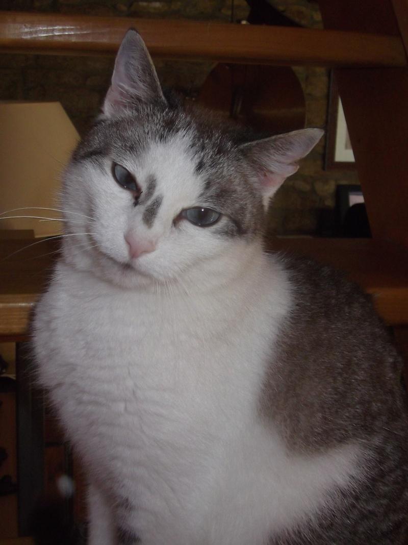 Hazura, femelle tabby grise & blanche, née le 01/01/2012 01710