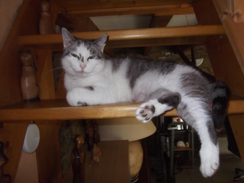 Hazura, femelle tabby grise & blanche, née le 01/01/2012 02110