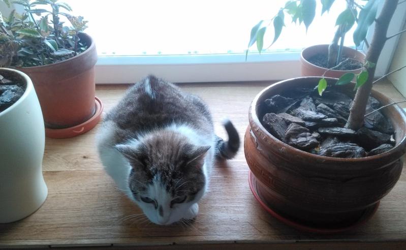 Hazura, femelle tabby grise & blanche, née le 01/01/2012 11806911