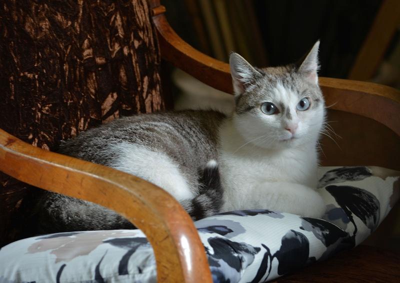 Hazura, femelle tabby grise & blanche, née le 01/01/2012 Hazura11