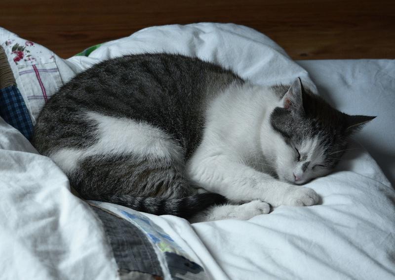Hazura, femelle tabby grise & blanche, née le 01/01/2012 Hazura13
