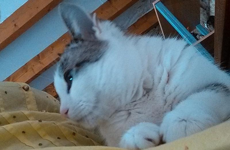 Hazura, femelle tabby grise & blanche, née le 01/01/2012 Img_2014