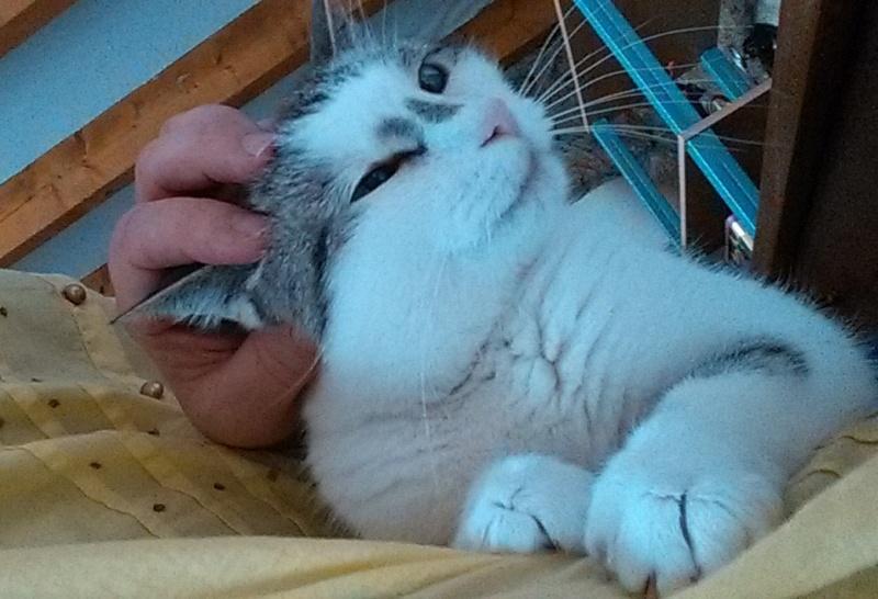 Hazura, femelle tabby grise & blanche, née le 01/01/2012 Img_2015