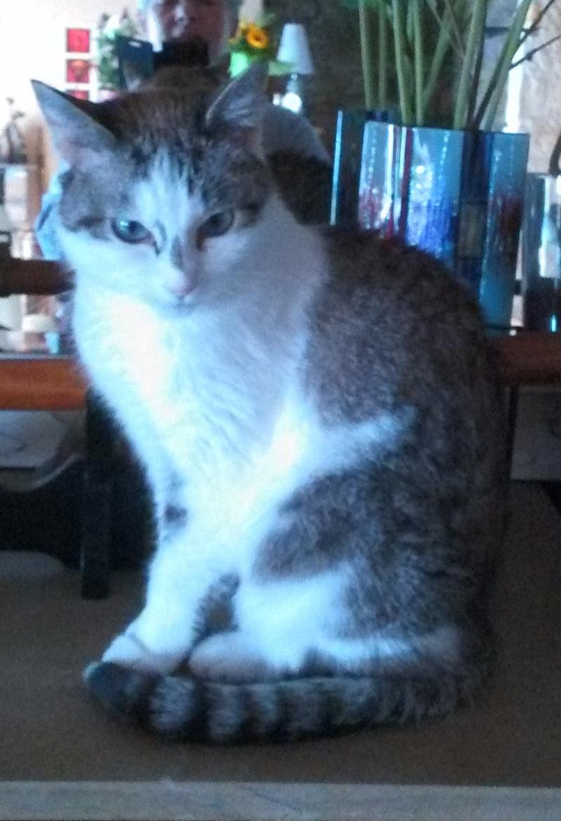 Hazura, femelle tabby grise & blanche, née le 01/01/2012 Img_2016
