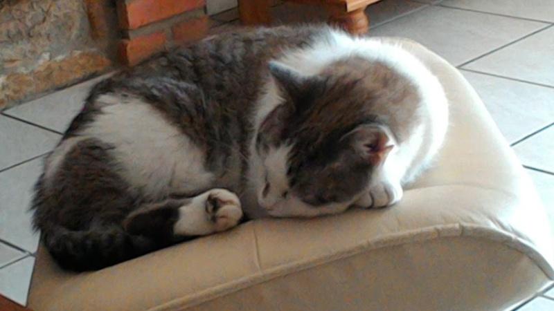 Hazura, femelle tabby grise & blanche, née le 01/01/2012 P_201510