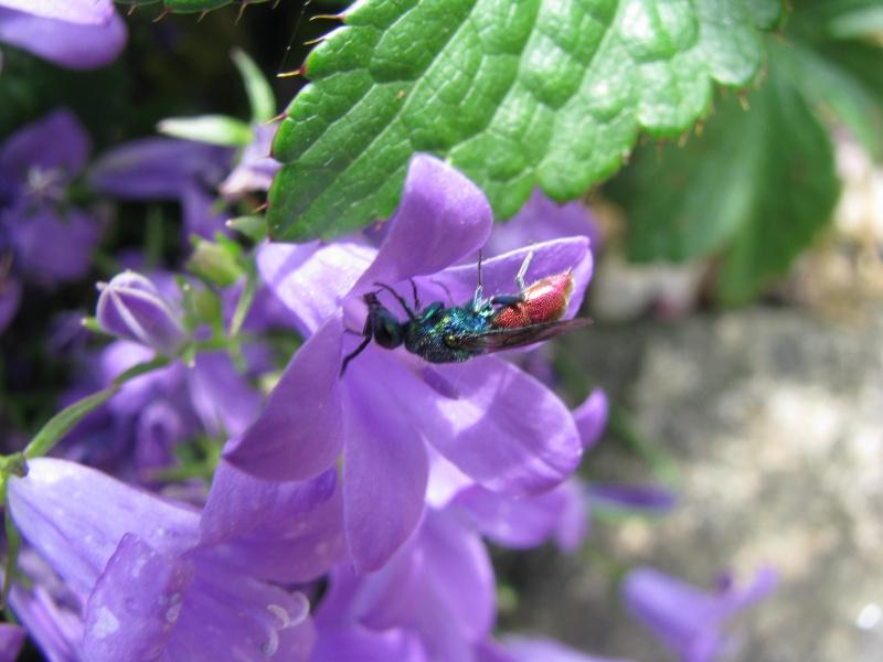 Pour un insecte ??? S_V_ P : Chryside Img_2518