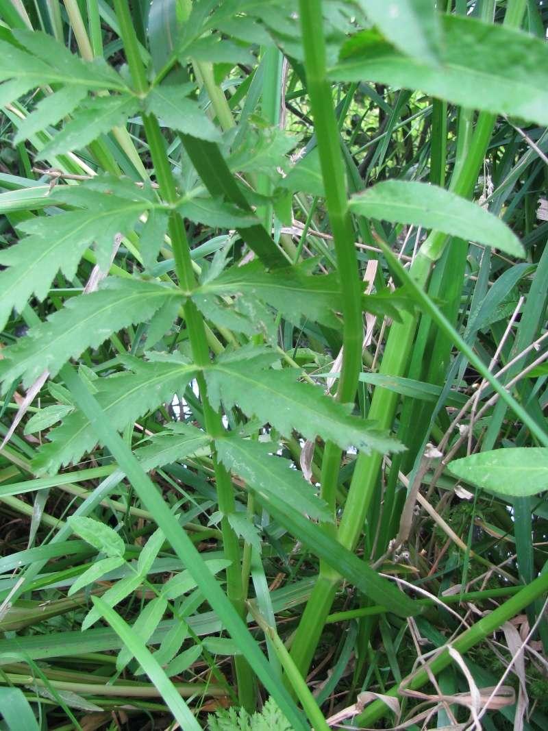 Sium latifolium Img_2912