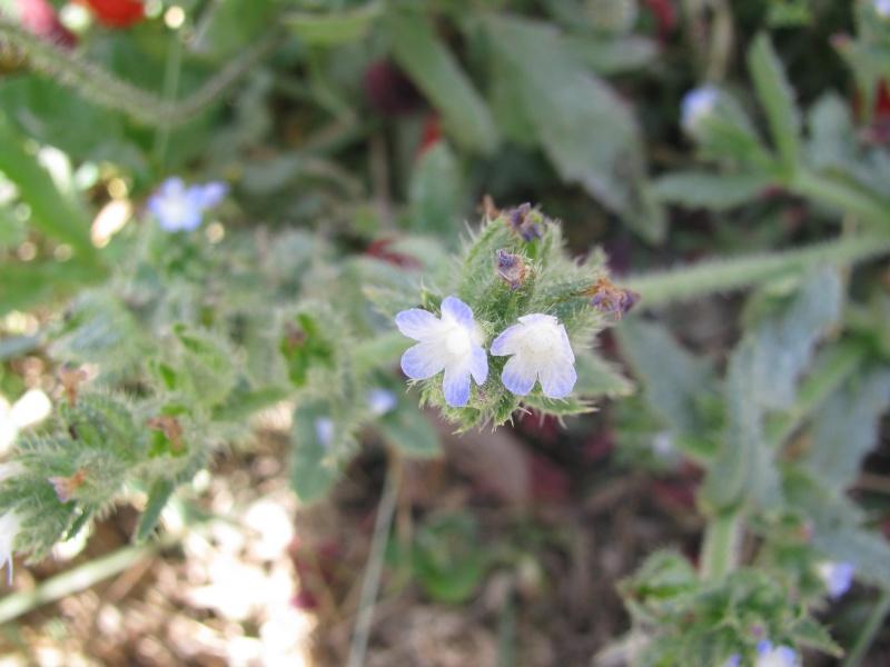 """Myosotis piquant"" [Lycopsis arvensis] Img_3112"