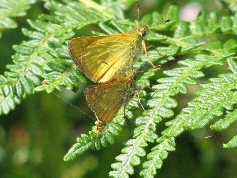 Ochlodes sylvanus mâle et femelle Img_3210