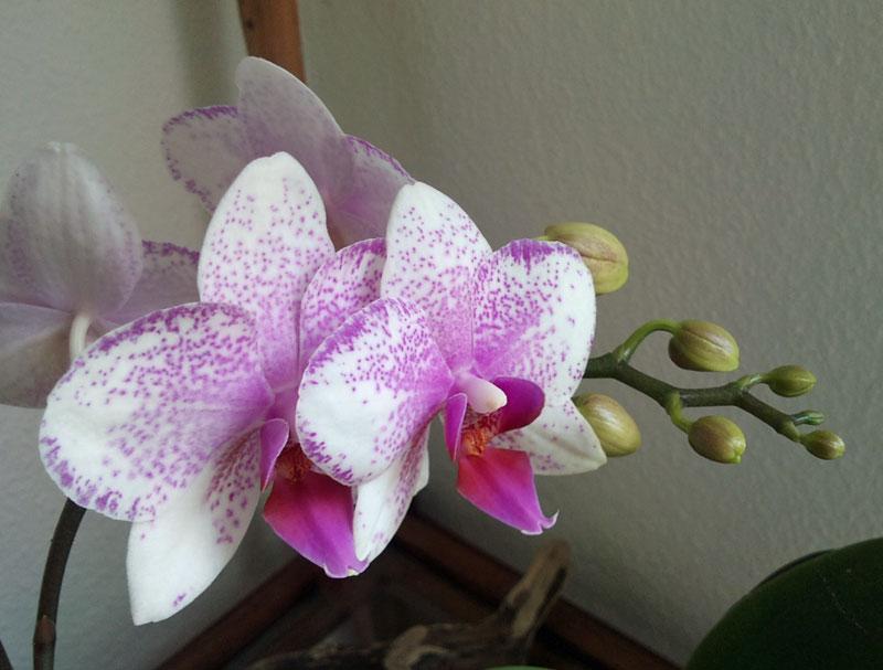 Orchideen in Glasvase 3 - Seite 4 0610