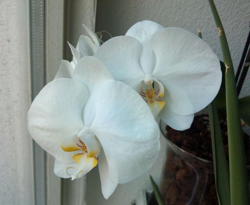 Orchideen in Glasvase 3 - Seite 4 Aeltes10