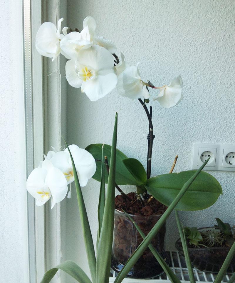Orchideen in Glasvase 3 - Seite 4 Aeltes11