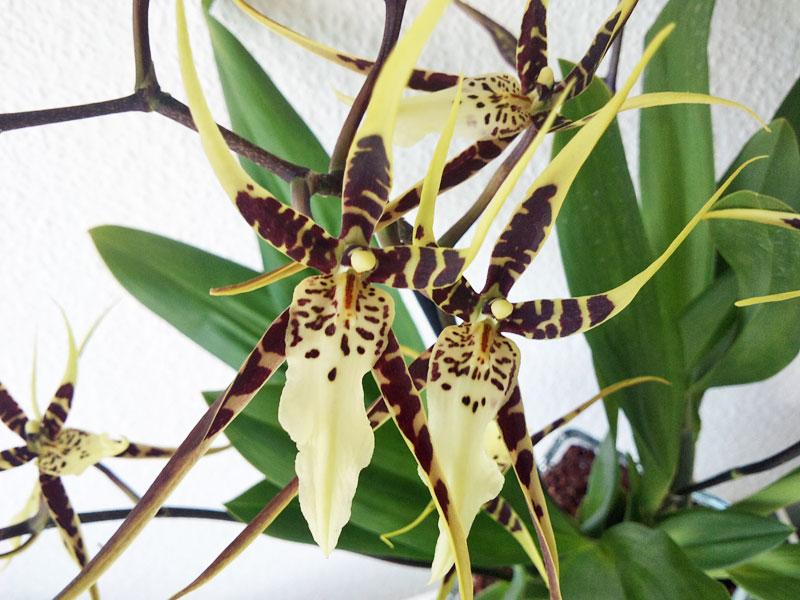 Orchideen in Glasvase 3 - Seite 4 Brassi11