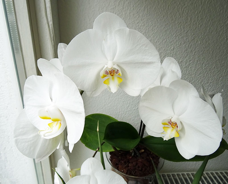 Orchideen in Glasvase 3 - Seite 13 Phal110