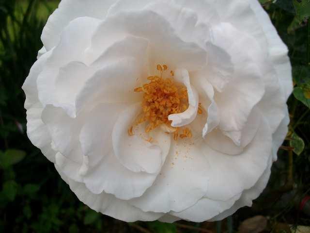 Rosa 'Maria Mathilda' Maria_10