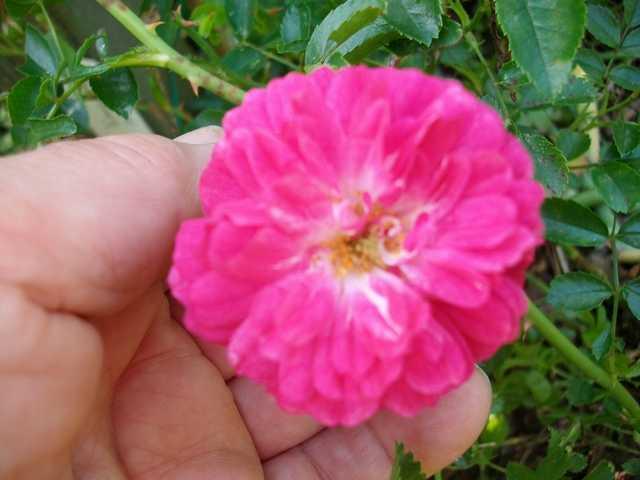 qui est ce rosier? Petite12
