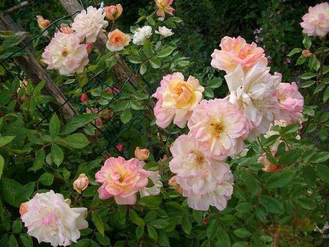 Rosa 'Phyllis Bide' !!! - Page 3 Ph-bid10