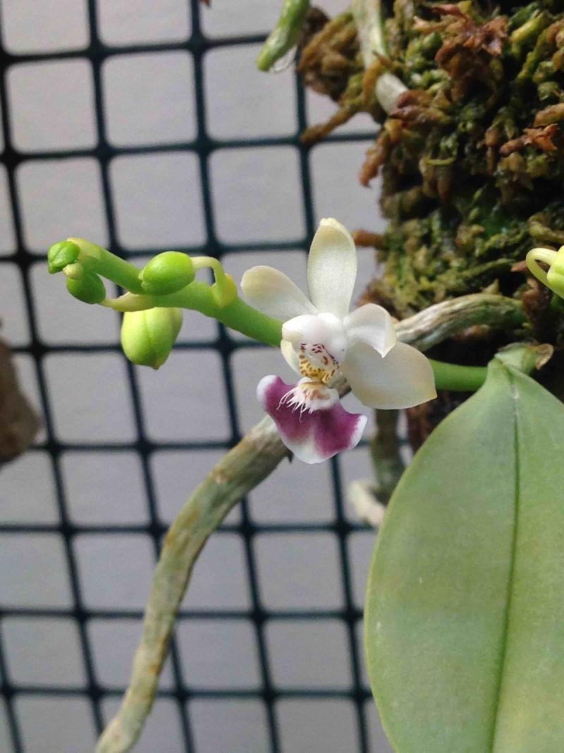 Phalaenopsis parishii Img_3910