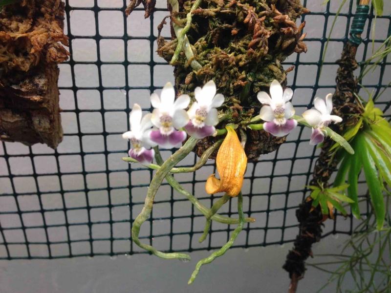 Phalaenopsis parishii Img_4010