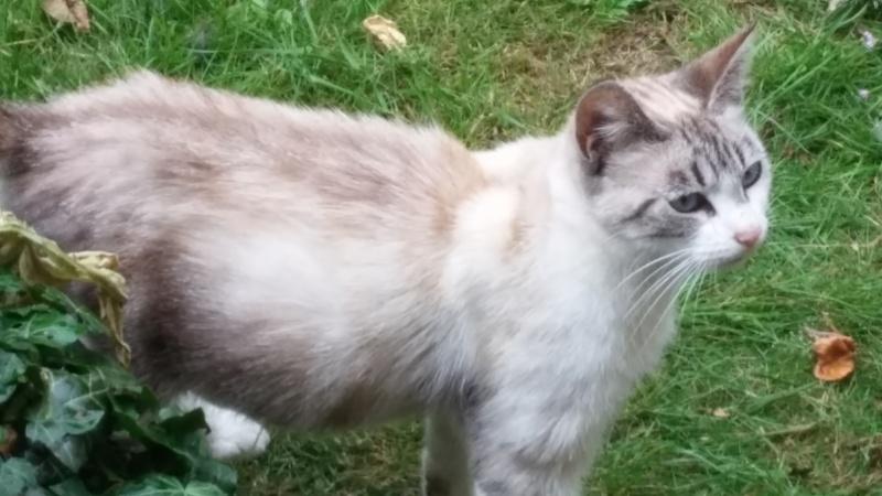 Laïka jeune chatte typée siamoise, gestante, à la rue 20150713
