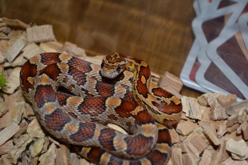 Mes serpents Dsc_0210