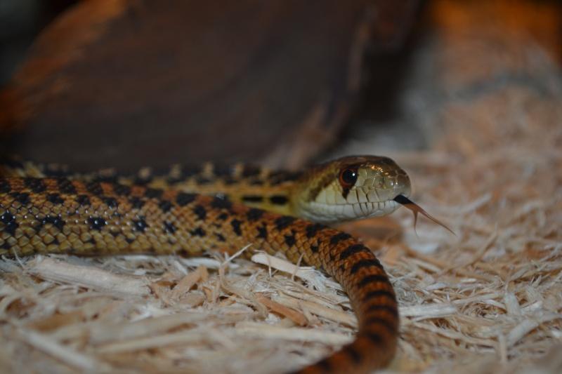 Mes serpents Dsc_0211