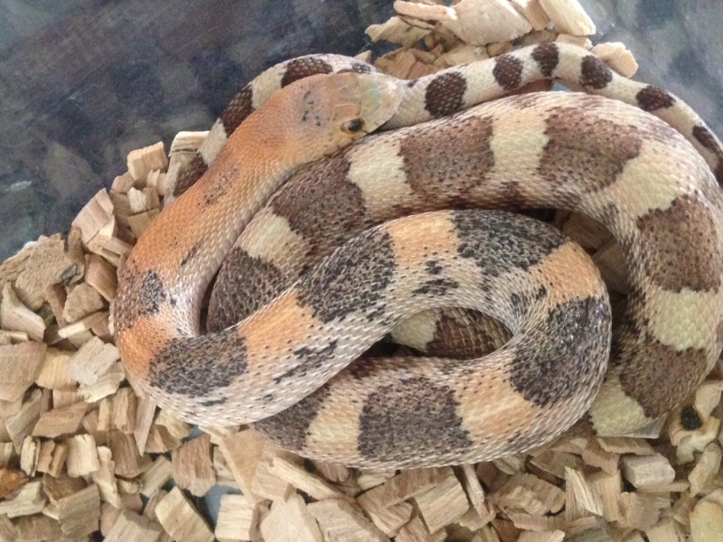 Mes serpents Image111