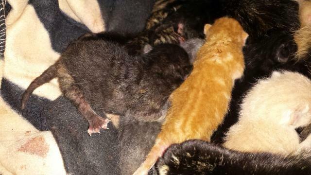 Portée de 9 chatons Image111