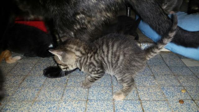 Portée de 9 chatons Img_7630