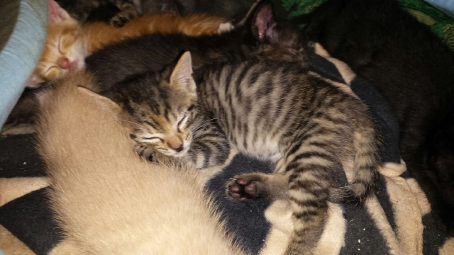 Portée de 9 chatons Img_7724
