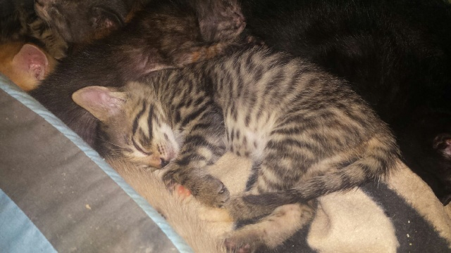 Portée de 9 chatons Img_7725