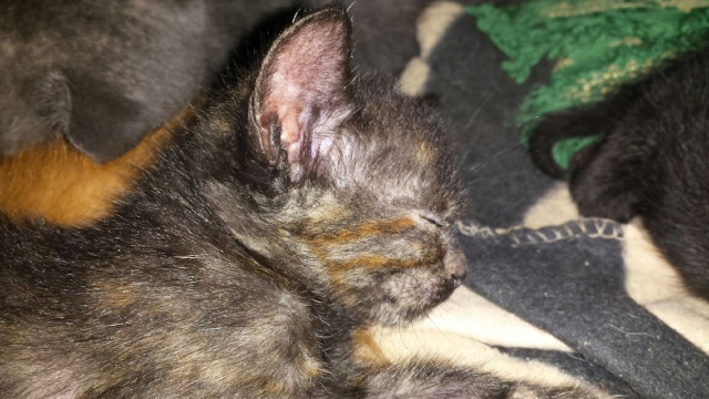 Portée de 9 chatons Img_7726