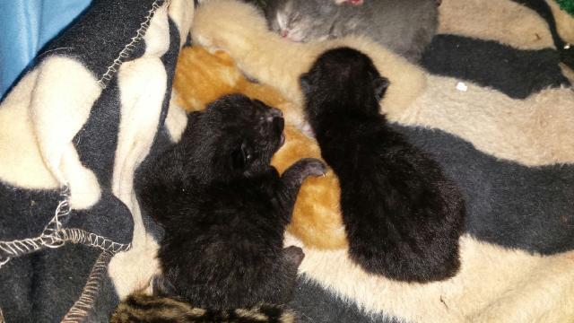 Portée de 9 chatons Photo_18