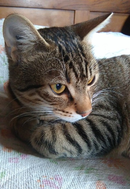 Pépin - Male -  Mois - Tabby Brown - IE : 250268731252182 Zxqhdl10