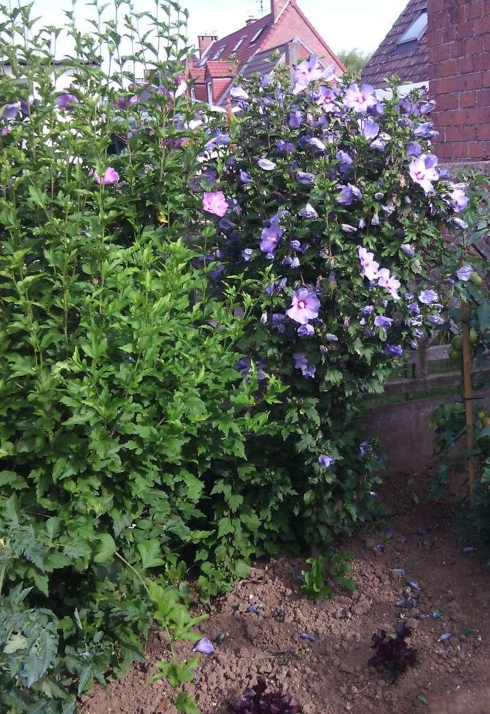 hibiscus (exterieur)  Img_2032