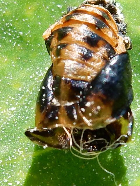 coccinelle : larve & nymphe 00210