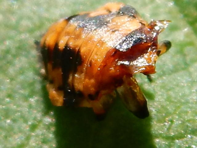 coccinelle : larve & nymphe 00310