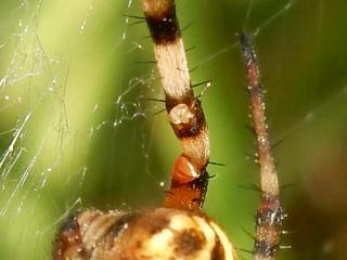 Argiope bruennichi (Scop. 1772) argiope frelon prépare Noêl 00610