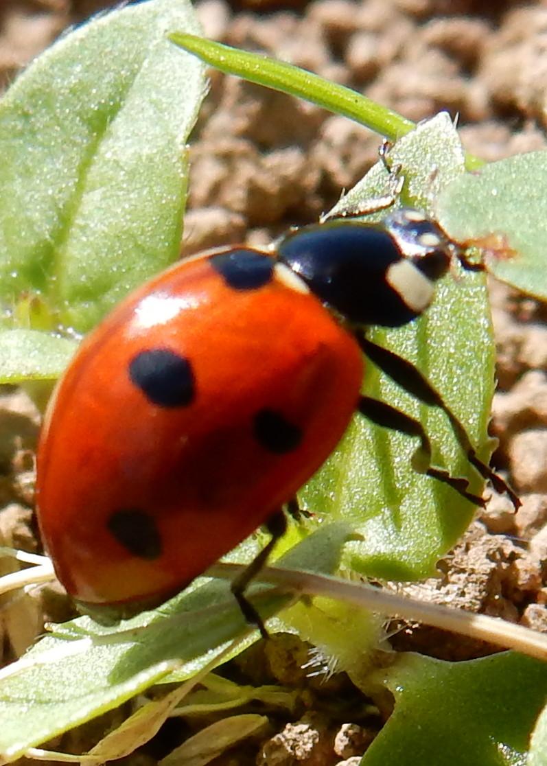 coccinelle : larve & nymphe 04310