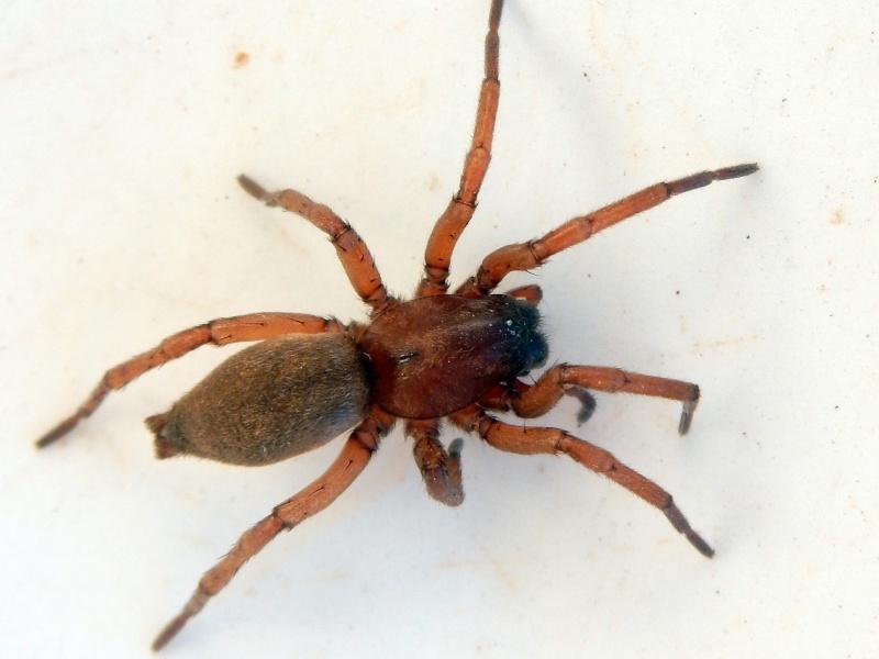 [résolu]Drassodes sp. (Gnaphosidae) une araignée qui a du bol 072_fo10
