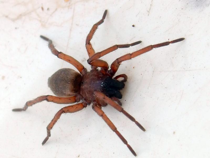 [résolu]Drassodes sp. (Gnaphosidae) une araignée qui a du bol 073_fo10