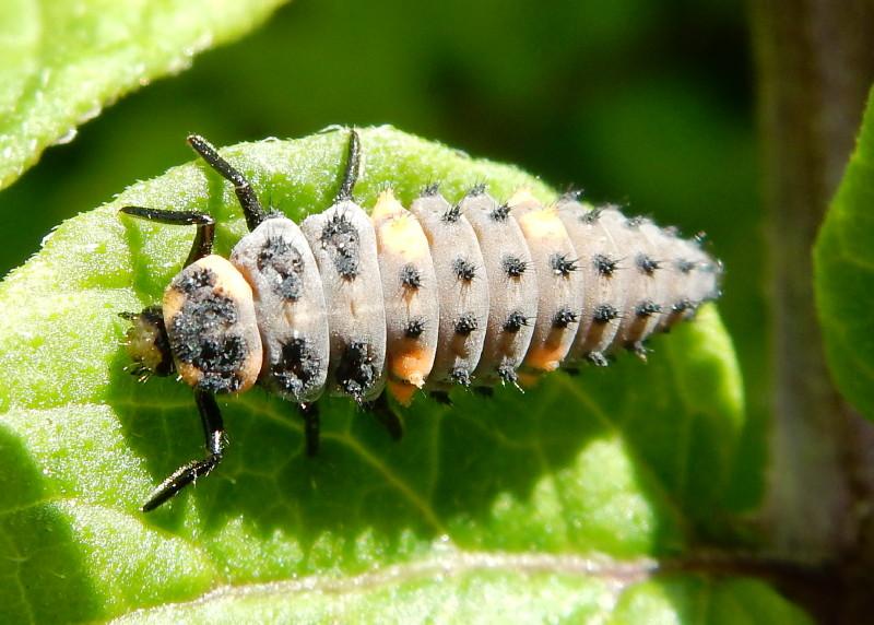 coccinelle : larve & nymphe Larve_10