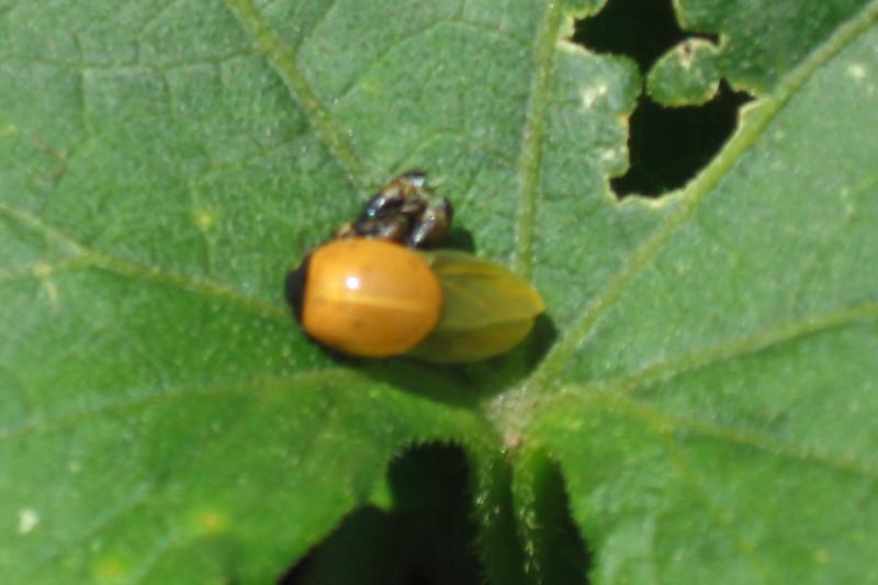 coccinelle : larve & nymphe Naissa10