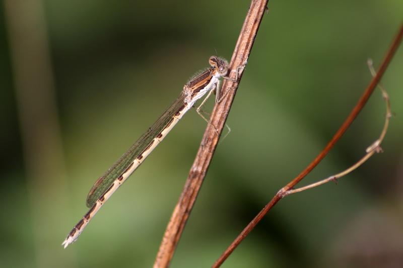 la première espèce de l'année (Sympecma fusca) Img_3110