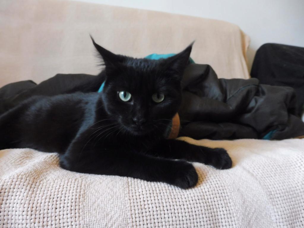 Jiji, chattoune noire, perdue le 28/02 (Aurillac, Cantal) P1030110