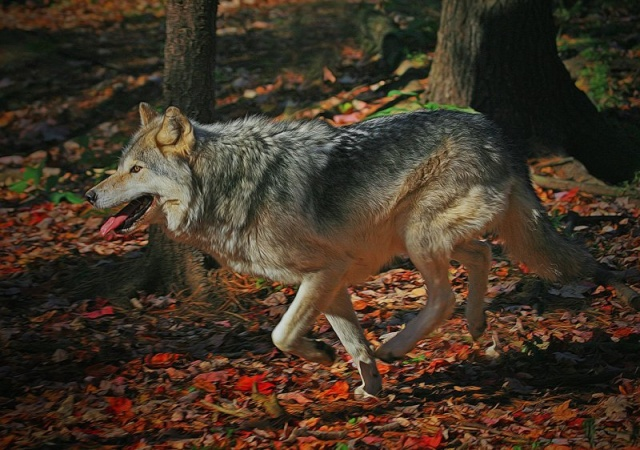 WOLVES: Subspecies 10477510