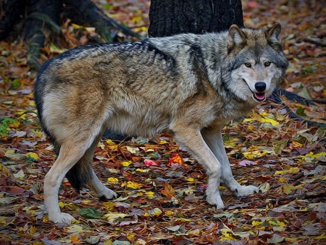 WOLVES: Subspecies 11866010