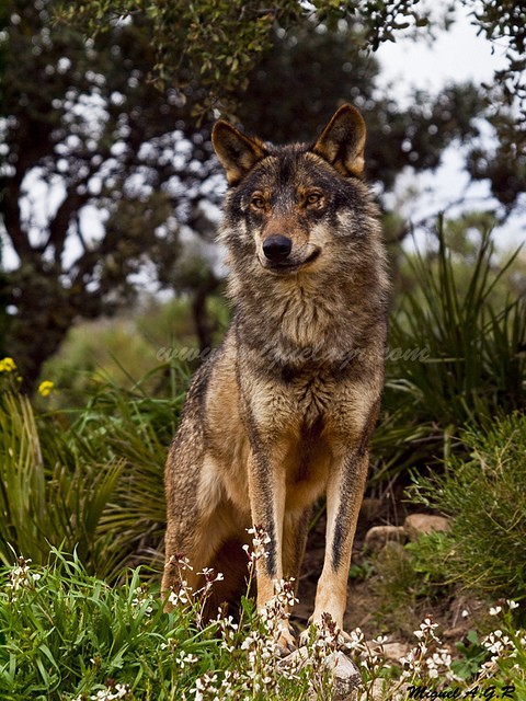 WOLVES: Subspecies 45154210